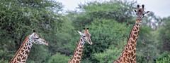 (Markus Hill) Tags: africa park travel nature animal canon tanzania safari afrika giraffe manyara tarangire eastafrica ostafrika tansania 2019