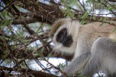 (Markus Hill) Tags: africa travel tree animal canon tanzania monkey afrika tier manyara tarangire affe tansania 2019