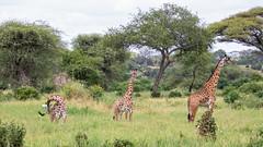 Giraffes at Tarangire (Markus Hill) Tags: africa park travel nature animal canon tanzania safari afrika giraffe manyara tarangire eastafrica ostafrika tansania 2019