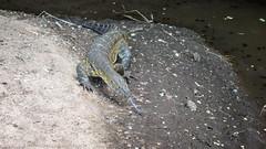 (Markus Hill) Tags: africa travel nature animal canon tanzania reptile lizard afrika manyara tarangire echse monitorlizard waran tansania 2019