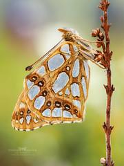 Issoria lathonia. (Ireneusz Irass Waledzik) Tags: irass ireneusz waledzik wemacro olympus olympusomdem1markii omd olympusmzuikodigital60mmf28edmacro olympuspoland olympuspro butterfly insect issoria lathonia