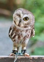 Winking Owl (Tatchum) Tags: sitka alaska owl bird wildlife injured