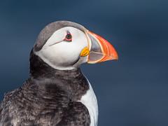 Puffin portrait (alanrharris53) Tags: puffin farne islands bird aves northumberland uk seabird auk