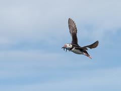 Flying high (alanrharris53) Tags: puffin farne islands bird aves northumberland sandeels