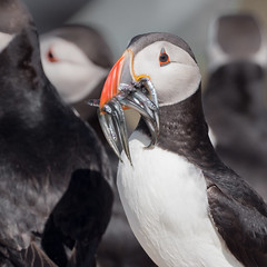 Lunch (alanrharris53) Tags: puffin farne islands bird aves northumberland auk