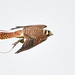 Flight series - Kestrel with prey #4