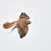 Flight series - Kestrel with prey #5
