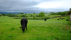 Cumbrian Rural Countryside (Adam Swaine) Tags: cumbria northeast england english englishlandscapes cows uk ukcounties britain british rural landscapes englishfields counties countryside beautiful flora farming cattle pennines aonb