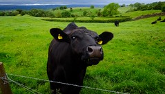 Cumbrian Cows...(mooo) (Adam Swaine) Tags: dairy farming cows cumbria northeast aonb england english englishlandscapes counties countryside county uk ukcounties britain british fields englishfields animals nature 2019