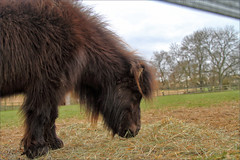 Bear III (meniscuslens) Tags: shetland pony horse trust charity rescue field paddock fence tree sky cloud buckinghamshire princes risborough high wycombe aylesbury