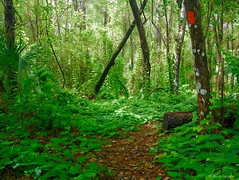 Ivy Ground Cover (surfcaster9) Tags: ivy trail green ground trees lumixg7 lumix20mmf17llasph nature outdoors florida forest woods