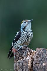 Brown Fronted Woodpecker (Asaru Kariyil Photography) Tags: 2019 nikon nikon850 wildlife winter asaru birding birds birdsofindia india nikon500mm photography ponnaanikkaran sattal wild