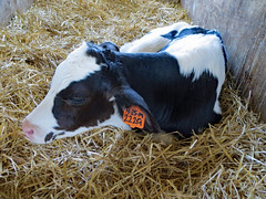 Calf Relaxing. (dccradio) Tags: middletown md maryland indoor indoors inside barn calfbarn calf calves cow moo june summer summertime wednesday afternoon goodafternoon wednesdayafternoon southmountaincreamery farm ag agriculture agricultural farming cows bull bedding straw hay animal farmanimal holstein canon powershot elph 520hs