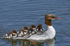 saw bill duck (madziulka_a) Tags: sawbillduck poland nikon d850 wildlife nurogęś bird 200500mm