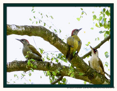 We are Family (pete #hwcp) Tags: we family hwcp green woodpeckers