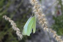 Colias palaeno (Irmzaq photography) Tags: moorlandcloudedyellow moorlandclouded coliaspalaeno yellowbutterfly butterfly butterflyphotography naturephotography nature insectphotography insect palaenosulphur