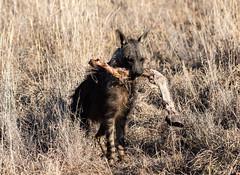 I'll have a leg. (swmartz) Tags: nature nikon outdoors wildlife animal hyena brown jackal blackbacked safari africa southafrica madikwe preserve june 2019 200500mm feast red ribs remains kill scavenger scraps