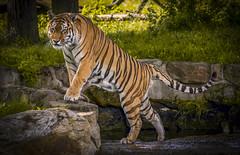No bath for Vladimir tonight (Jonnyfez) Tags: amur siberian tiger vlad vladimir yorkshire wildlife park waterfall off dry bath face expression d750 big cat jonnyfez