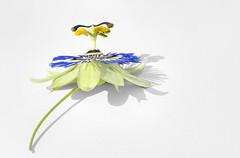 Passion Flower (LindaShaws Images) Tags: passifloraceae f32 eosr nik software flower garden floral passion canon100mmmacrolens stack 7imagestack photoshop lightroom