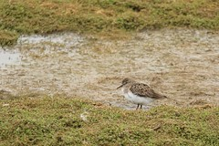 Temminck's stint  ( Calidris temminckii )  Dungeness RSPB (GrahamParryWildlife) Tags: grahamparrywildlife sigma 150600 sport 150 600 canon 7d mkii outdoor animal depth field mk2 uk kent rspb viewing photo flickr add new sunlight up blue dof dungeness rare scarce temmincks stint calidris temminckii firth hide