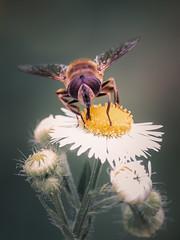_MG_6114 (timokastenhuber) Tags: 2019 copyrighttimokastenhuber2019 forbach natur schwarzwald timokastenhuber nature flower bee insect makro macro butterfly schmetterling black forrest