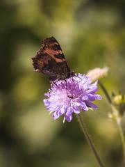 _MG_6050 (timokastenhuber) Tags: 2019 copyrighttimokastenhuber2019 forbach natur schwarzwald timokastenhuber nature flower bee insect makro macro butterfly schmetterling black forrest