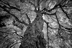 _DSC2352 Old Man Willow (Charles Bonham) Tags: willowtree burl infrared trunk limbs canopy sonya7r laowaddreamer12mmf28 bw charlesbonhamphotography