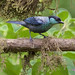 Black-capped Tanager_Tangara heinei_Valle del Cauca_Colombia_Ascanio199A0835