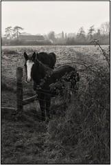 Forest Farm Horses (devonaldjohndavies) Tags: canon f1n fd 50mm14 kodak d23 ilford 100 delta diy filmdevelopment film scanning forest farm cardiff horses