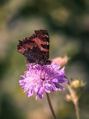 _MG_6056 (timokastenhuber) Tags: 2019 copyrighttimokastenhuber2019 forbach natur schwarzwald timokastenhuber nature flower bee insect makro macro butterfly schmetterling black forrest