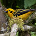 Golden Tanager_Tangara arthus_West Andes_VAlle del Cauca_Colombia_Ascanio 199A0966