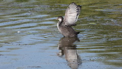 Juvenile coot (Deanne Wildsmith) Tags: coot bartonmarina staffordshire bird earthnaturelife waterfowl