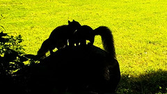 Too Many Squirrels (blazer8696) Tags: bushy carolinensis eastern easterngraysquirrel gray rat sciurus sciuruscarolinensis squirrel rock sitting sittingrock stc4536 tail tailed tree brookfield connecticut unitedstates 2019 bigtreerock camera ct ecw game obtusehill t2019 trail trap usa