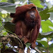 Red-howler Monkey_Alouatta seniculus_West Andes_Colombia_Ascanio 199A3477