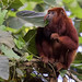Red-howler Monkey_Alouatta seniculus_West Andes_Colombia_Ascanio 199A3460