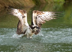 Osprey, Horn Mill, Oakham, Rutland, UK, July 2019 (conrad_hanchett) Tags: os osprey birdofprey raptor bird fish trout fishfarm horn mill farmhorn oakham rutland
