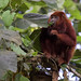 Red-howler Monkey_Alouatta seniculus_West Andes_Colombia_Ascanio 199A3459