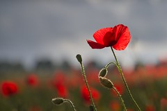 Head above the rest (Kevin_Barrett_) Tags: flowers poppy red nature