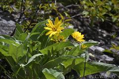 The flowers were late this year (V.C. Wald) Tags: arrowleafbalsamroot balsamorhizasagittata yellowstonenationalpark tamron16300mmdiiipzd