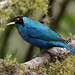 Green Honeycreeper_ Chlorophanes spiza_West Andes_Valle del Cauca_Colombia_Ascanio 199A0875