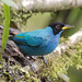 Green Honeycreeper_ Chlorophanes spiza_West Andes_Valle del Cauca_Colombia_Ascanio 199A0646