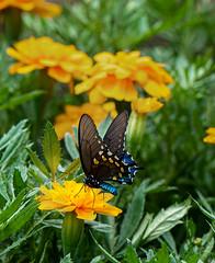 Butterfly (markburkhardt) Tags: butterfly flower summer yellow blue