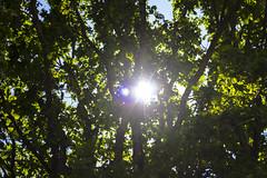 Свечение солнца сквозь ветви дуба, лучи дневного солнца летнего в псковской области (Nanaccept) Tags: свечение дуб сквозь солнце день псков лето зелень листва блик фон лучи nanaccept background фото ветви cmm