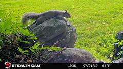 Flat Squirrel (blazer8696) Tags: bushy carolinensis eastern easterngraysquirrel gray rat sciurus sciuruscarolinensis squirrel stc4665 tail tailed tree brookfield connecticut unitedstates 2019 bigtreerock camera ct ecw game obtusehill t2019 trail trap usa