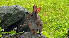 Bunny (blazer8696) Tags: bunny cottontail eastern easterncottontail floridanus rabbit rock sitting sittingrock stc4744 sylvilagus sylvilagusfloridanus brookfield connecticut unitedstates 2019 bigtreerock camera ct ecw game obtusehill t2019 trail trap usa