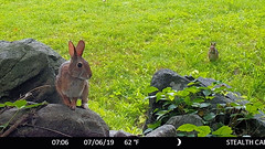 Rabbits (blazer8696) Tags: bunny cottontail eastern easterncottontail floridanus rabbit rock sitting sittingrock stc4743 sylvilagus sylvilagusfloridanus brookfield connecticut unitedstates 2019 bigtreerock camera ct ecw game obtusehill t2019 trail trap usa