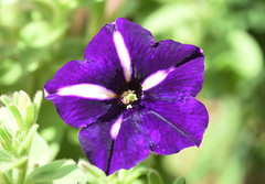 DSC_5082 Petunia (PeaTJay) Tags: nikond750 sigma reading lowerearley berkshire macro micro closeups gardens outdoors nature flora fauna plants flowers rose roses rosebuds petunia