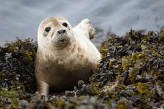 Seal (Matt Hazleton) Tags: wildlife nature animal outdoor canon canoneos7dmk2 canon100400mm eos 7dmk2 100400mm matthazleton matthazphoto wales pembrokeshire skomer skomerisland southandwestwaleswildlifetrust seal marinemammal mammal halichoerusgrypus