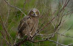 Juvenile Great-horned Owl (markvcr) Tags: owl greathorned bird nature wildlife coth5