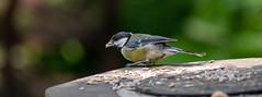 great tit 2 (Theutan1) Tags: calderstonespark nikond3500 nikon bird greattit